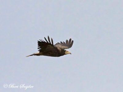 Egyptian Vulture Birding Portugal