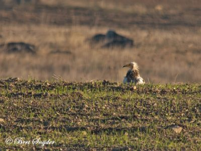 Egyptian Vulture Birding Portugal