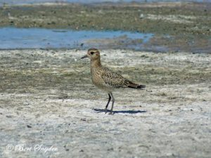 European Golden Plover Birding Portugal