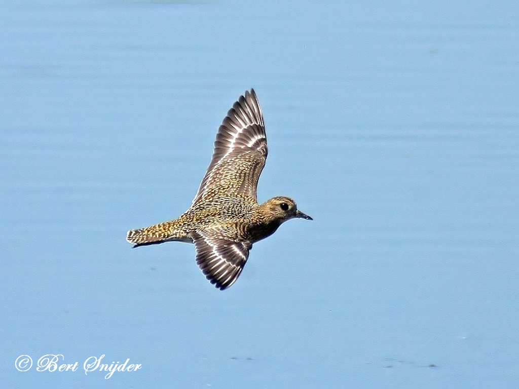 European Golden Plover Birding Portugal