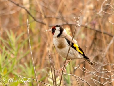 European Goldfinch Birding Portugal