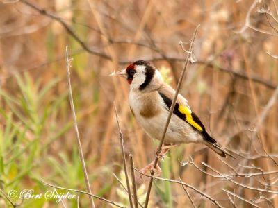 European Goldfinch Birding Portugal