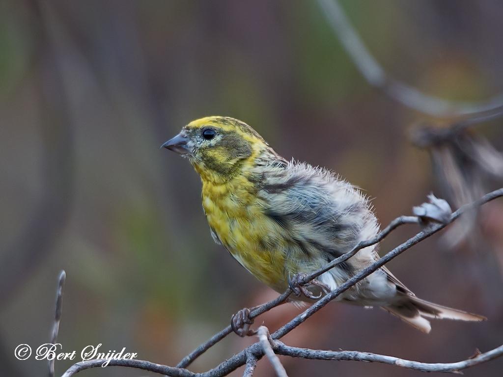 European Serin Bird Hide BSP1 Portugal