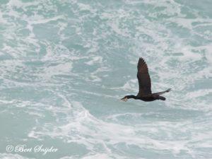 European Shag Birding Portugal
