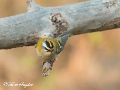 Firecrest Birding Portugal
