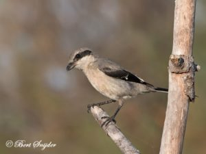Iberian Grey Shrike Bird Hide BSP3 Portugal