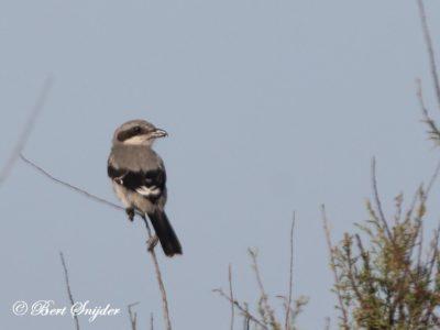 Iberian Grey Shrike Bird Hide BSP3 Portugal