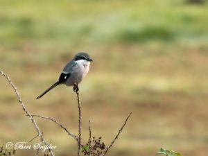 Iberian Grey Shrike Birding Portugal