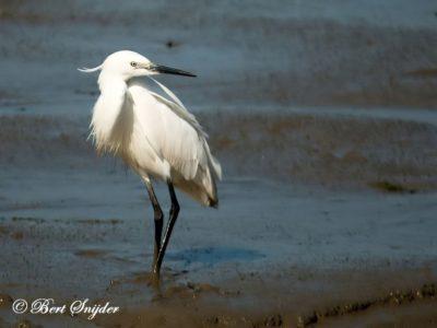 Little Egret Birding Portugal