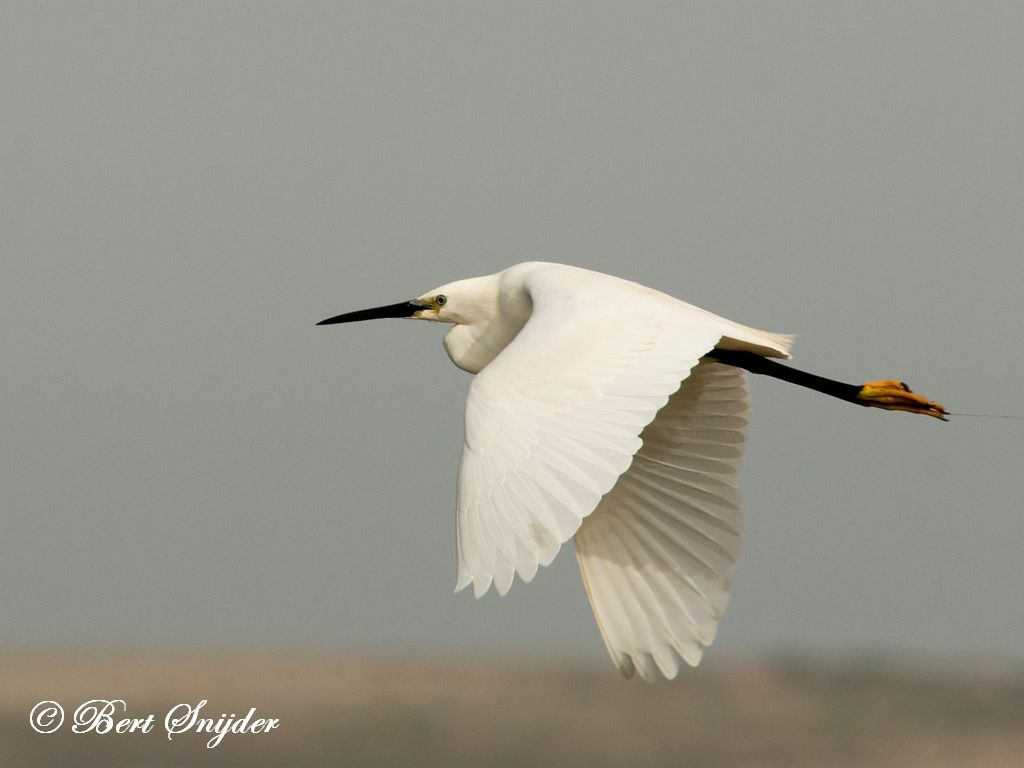 Little Egret Birding Portugal