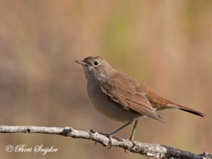 Nightingale Birding Portugal