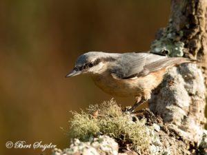 Nuthatch Bird Hide BSP1 Portugal