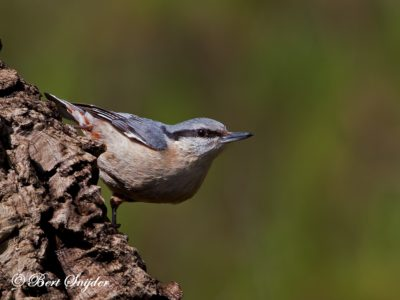 Nuthatch Bird Hide BSP1 Portugal