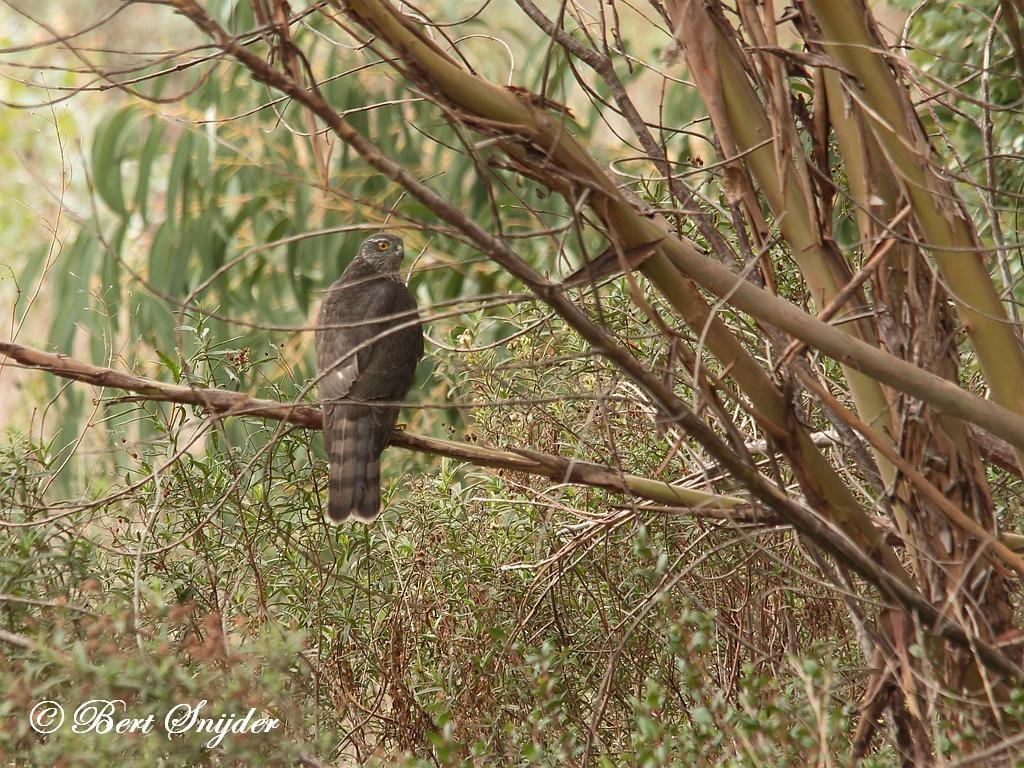 Sparrowhawk Birding Portugal