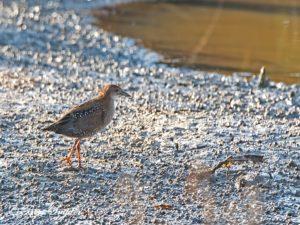 Baillon´s Crake Birding Portugal
