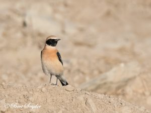 Black-eared Wheatear Birding Portugal