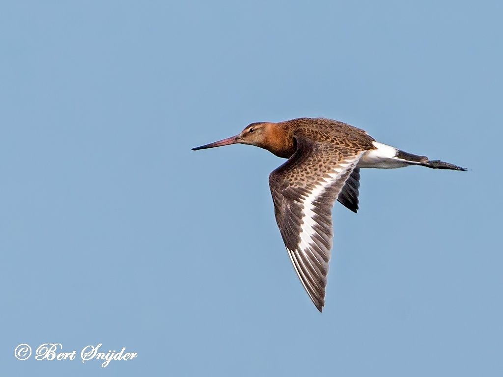 Black-tailed Godwit Birding Portugal