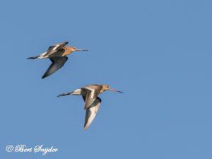 Black-tailed Godwit Birding Portugal