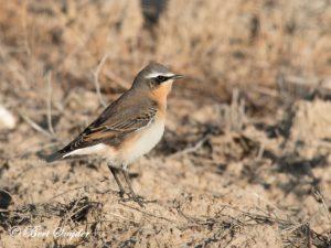 Northern Wheatear Birding Portugal