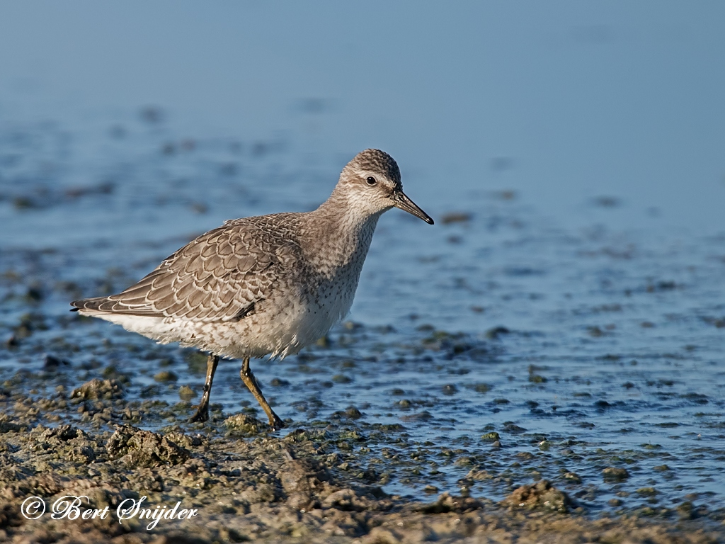 Red Knot Birding Portugal