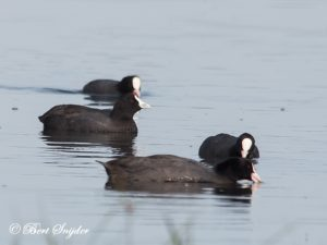 Red-knobbed Coot Birding Portugal