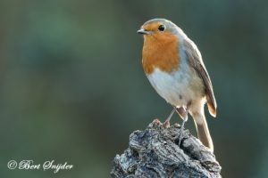Robin Birding Portugal