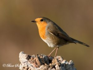 Robin Bird Hide BSP1 Portugal