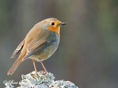 Robin Bird Hide BSP1 Portugal