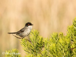 Sardinian Warbler Birding Portugal