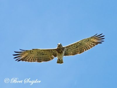 Short-toed Eagle Birding Portugal