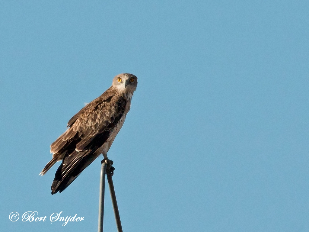 Short-toed Eagle Birding Portugal