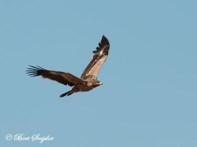 Steppe Eagle Birding Portugal