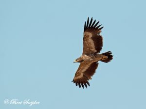 Steppe Eagle Birding Portugal