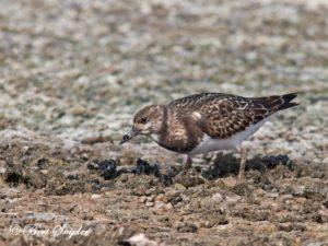 Turnstone Birding Portugal