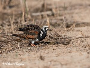 Turnstone Bird Hide BSP3 Portugal