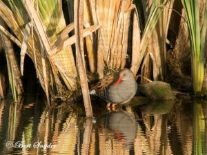 Water Rail Birding Portugal