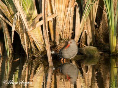 Water Rail Birding Portugal