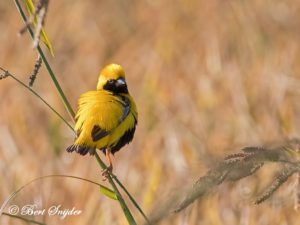Yellow-crowned Bishop Birding Portugal