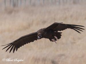 Black Vulture Birding Portugal