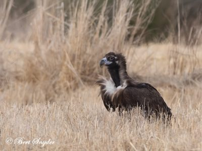 Black Vulture Birding Portugal