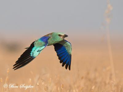 European-Roller Birding Portugal