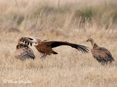 Griffon Vulture Birding Portugal