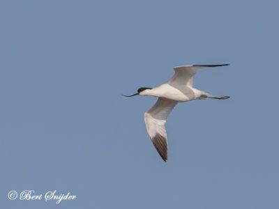 Avocet Birding Portugal