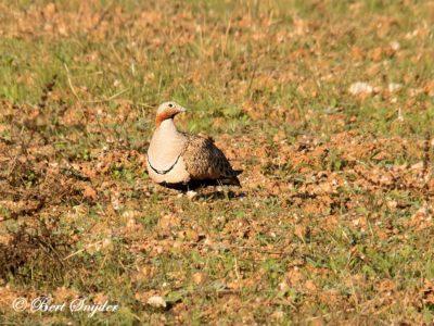 Black-bellied Sandgrouse Birding Portugal