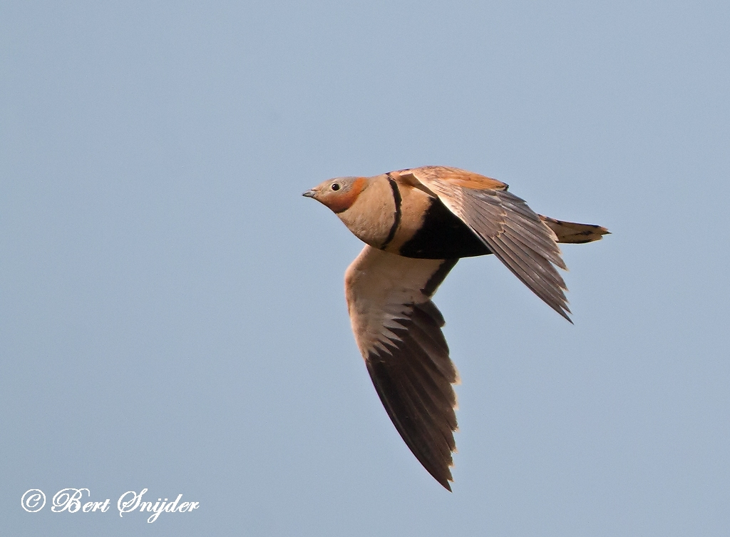 Black-bellied Sandgrouse Birding Portugal