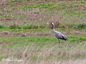 Common Crane Bird Hide BSP4 Portugal