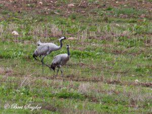 Common Crane Bird Hide BSP4 Portugal