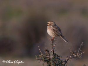 Corn Bunting Bird Hide BSP4 Portugal