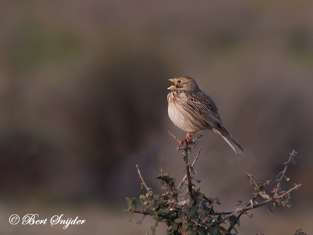 Corn Bunting Bird Hide BSP4 Portugal