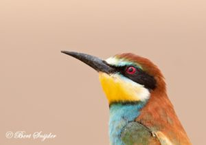 European Bee-eater Birding Portugal